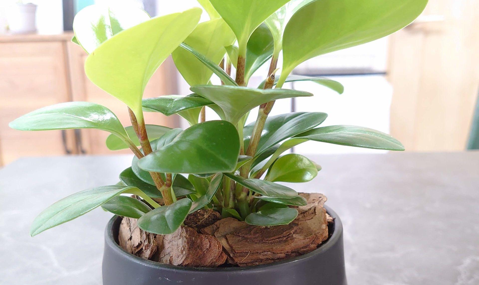 ペペロミア オブツシフォリア 成長記録<100均観葉植物>