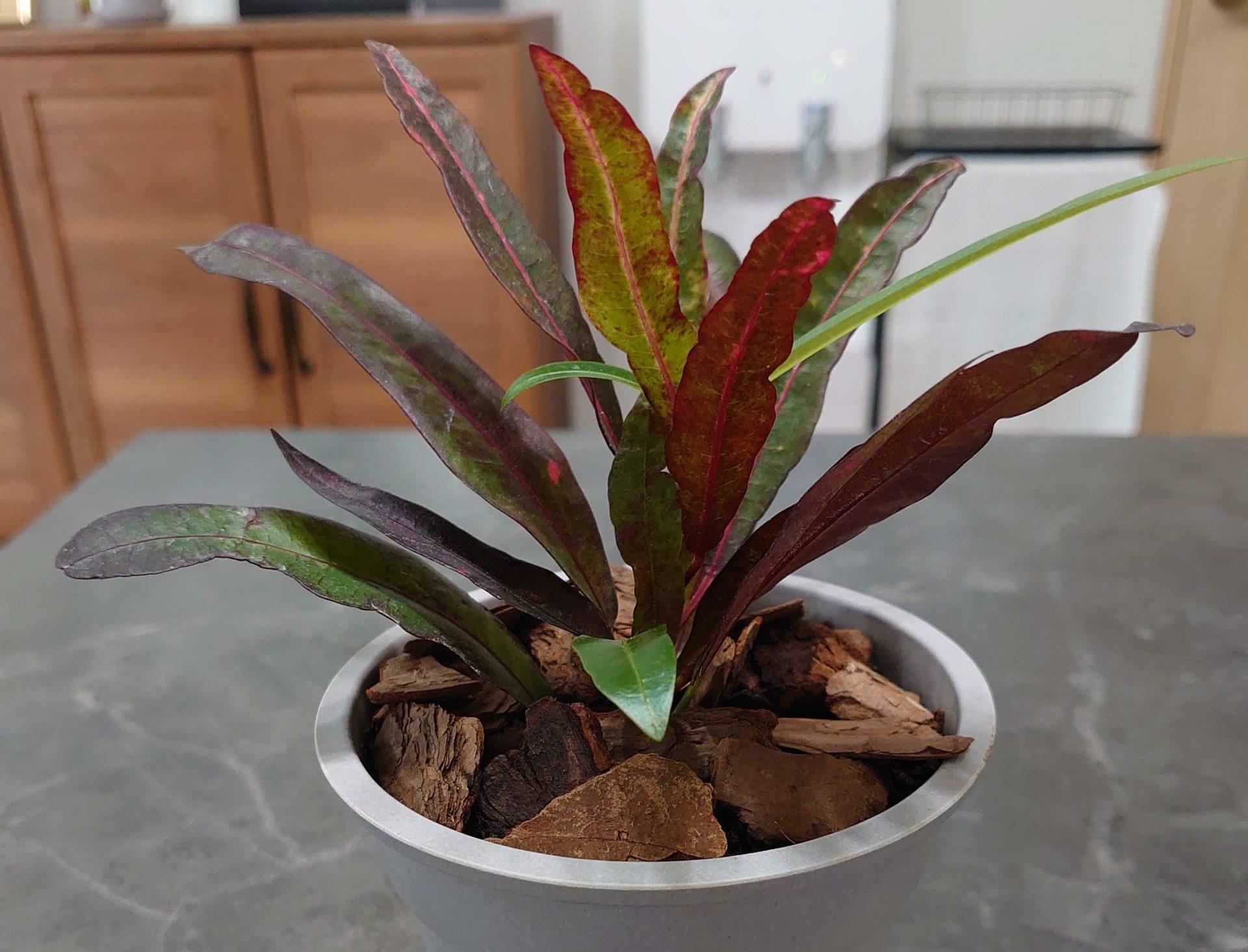 クロトン アカ 成長記録<100均観葉植物>