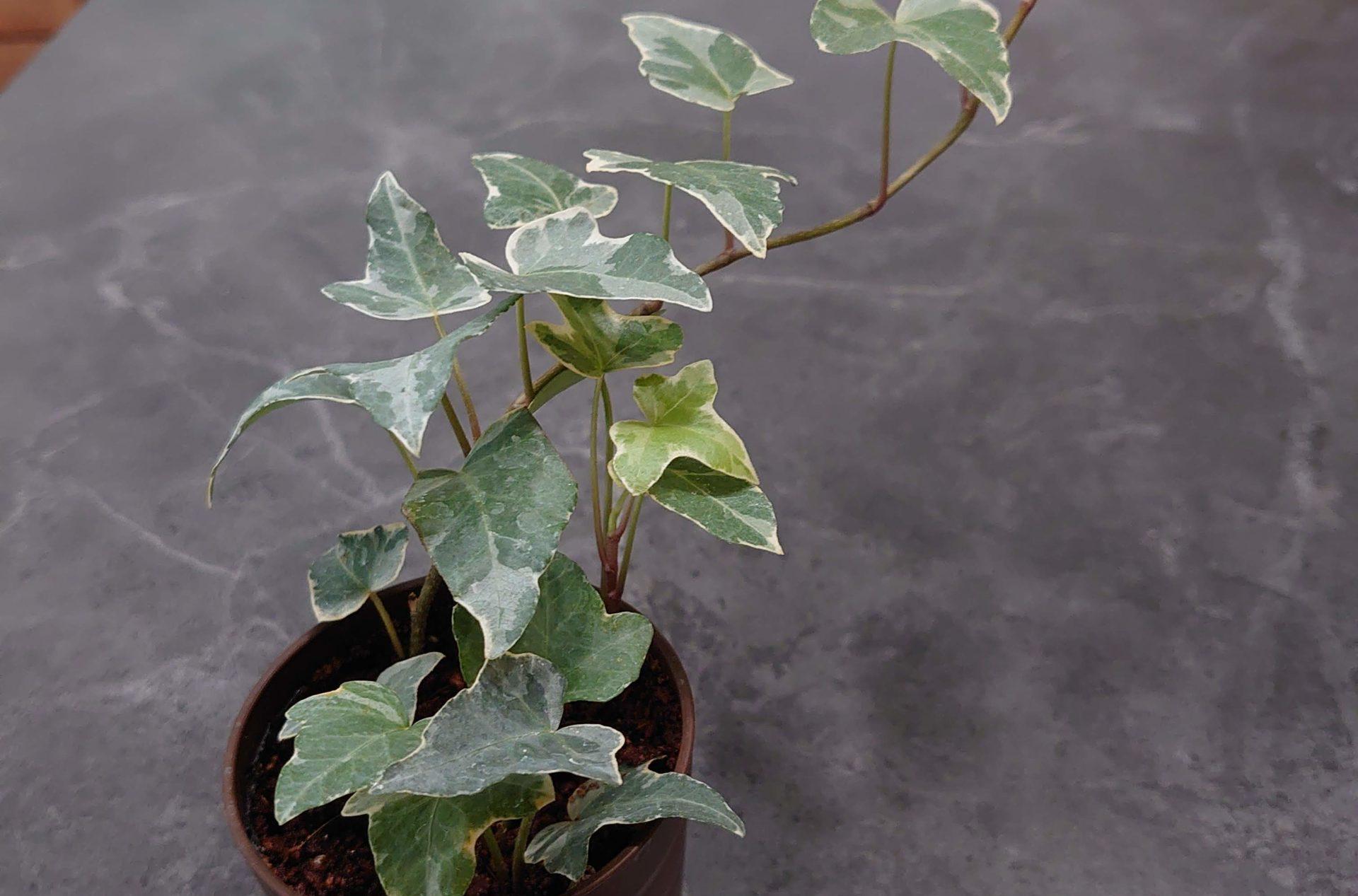 アイビー グレーシャー 成長記録<100均観葉植物>