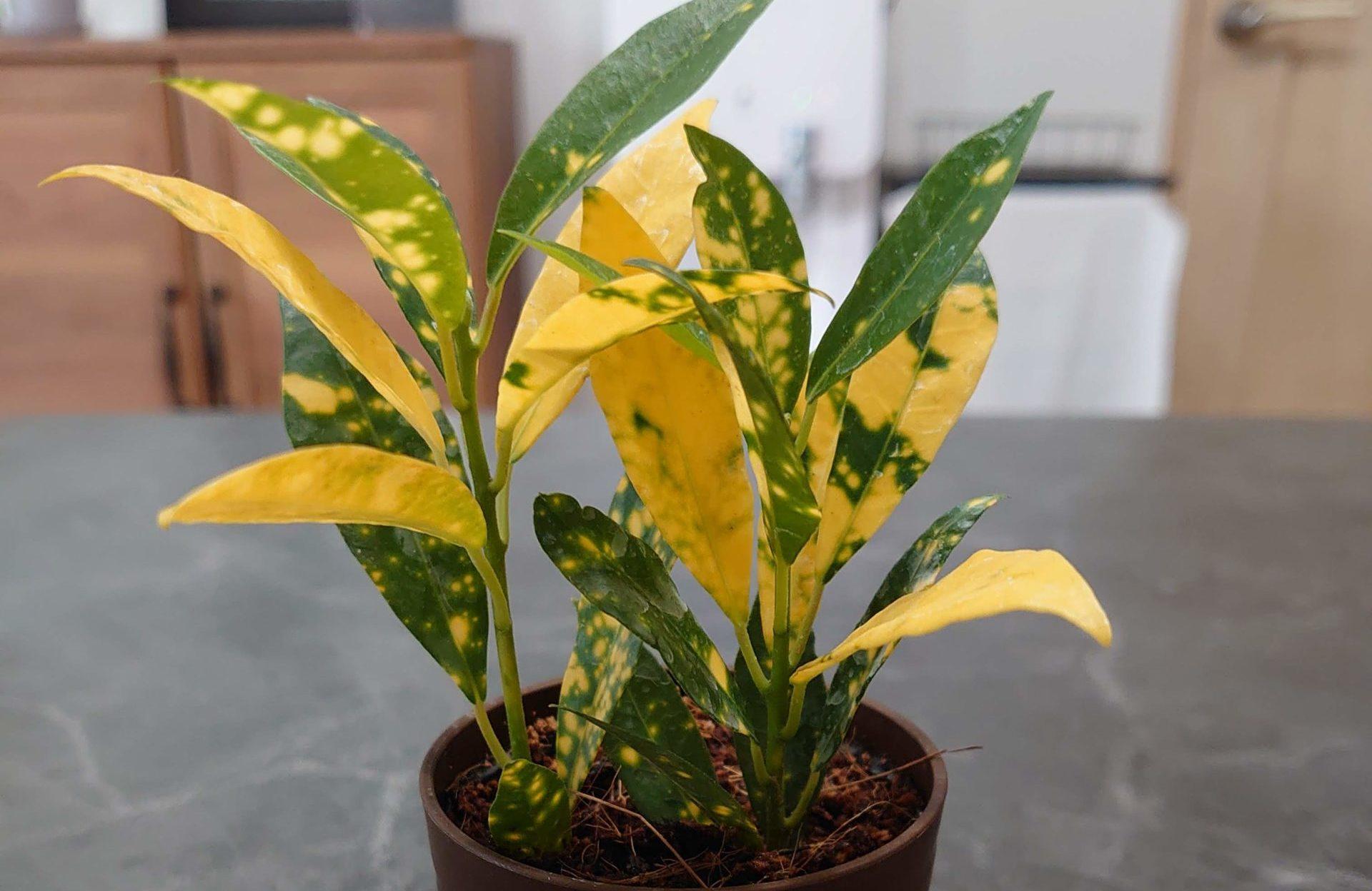 クロトン ゴールドスター 成長記録<100均観葉植物>