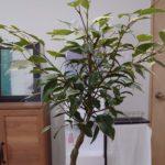 ベンジャミン ゴールデンプリンセス 成長記録<ホームセンターで購入した植物>