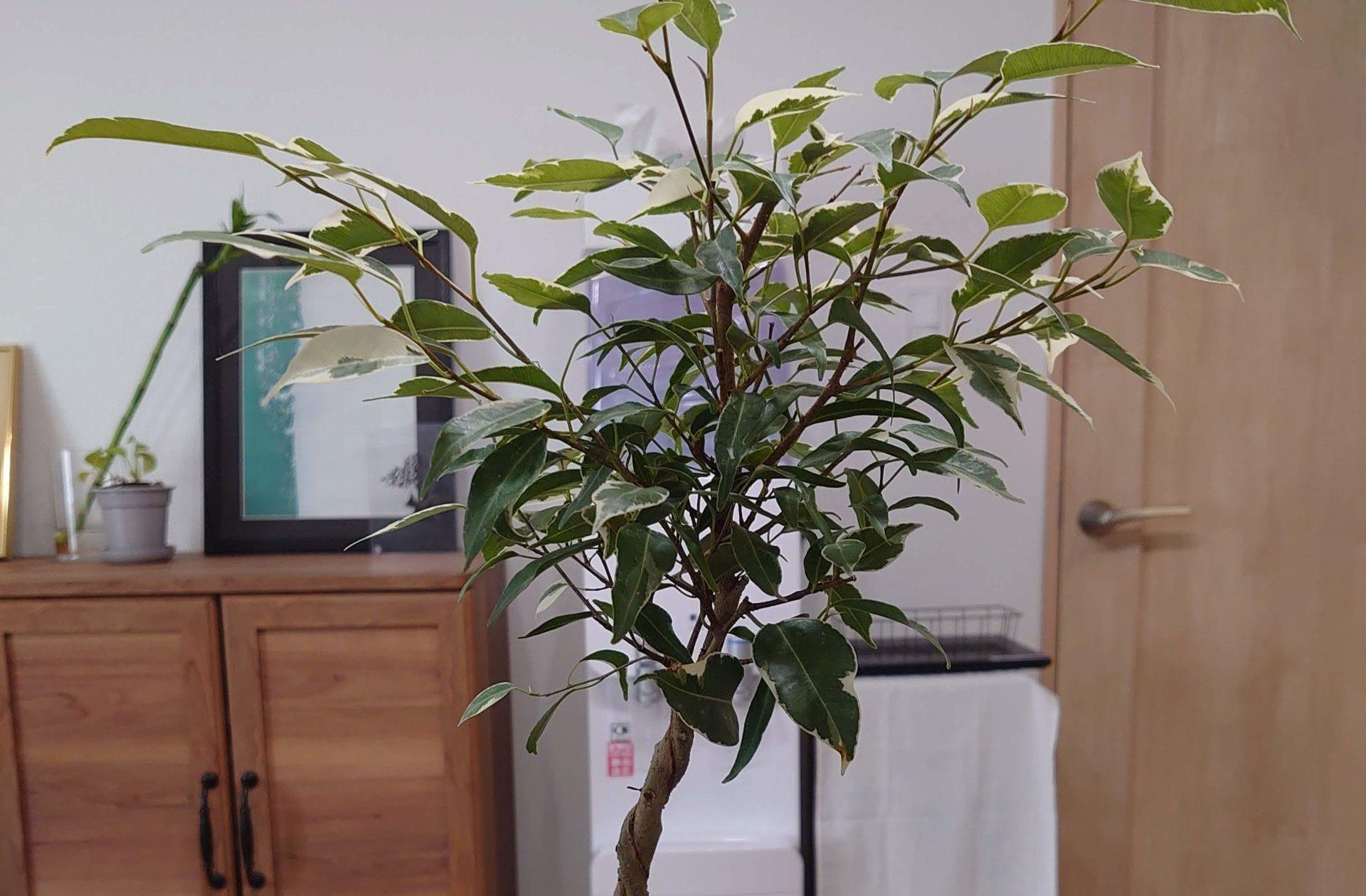 ベンジャミン 成長記録<ホームセンターで購入した植物>