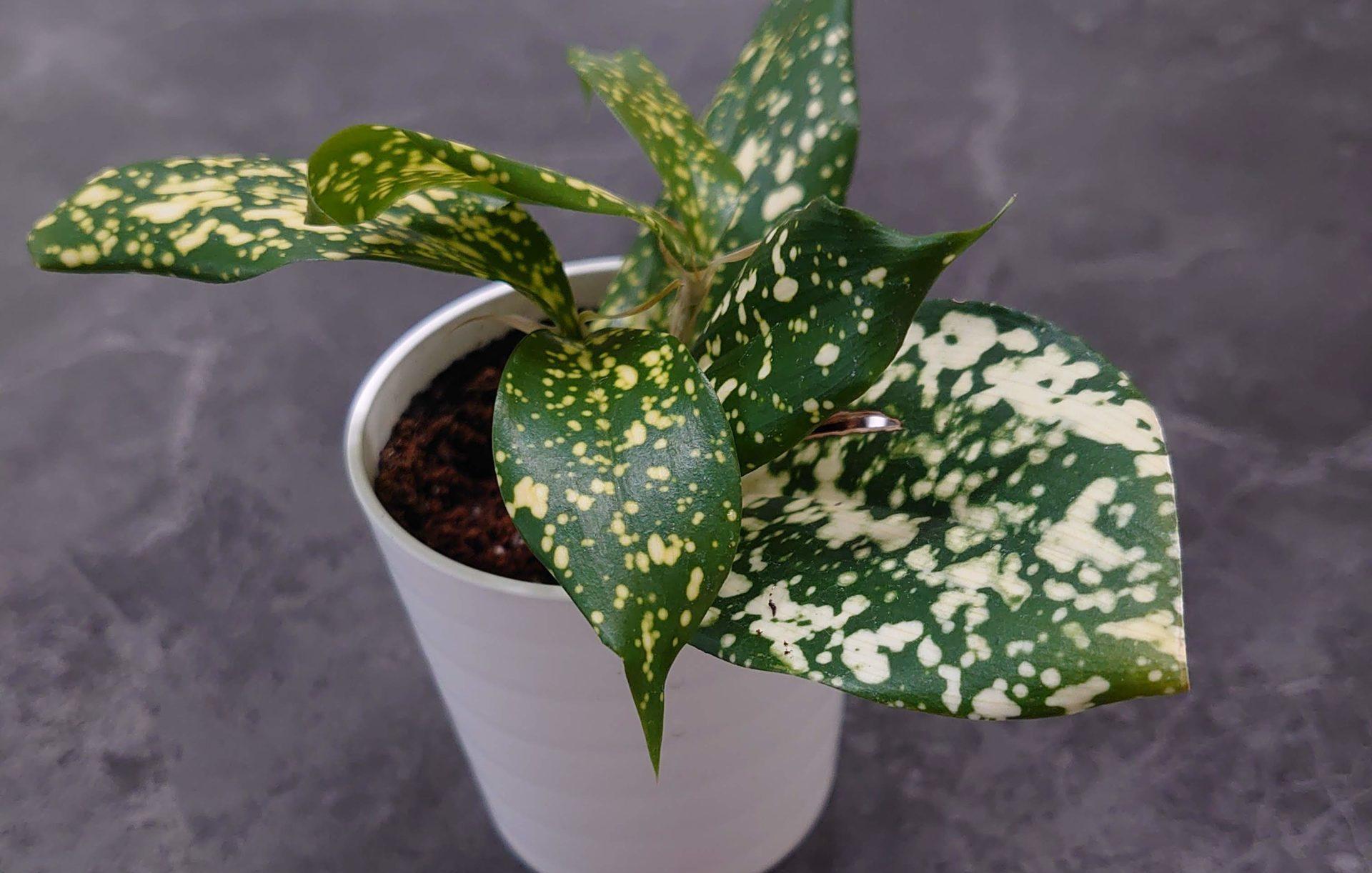 ドラセナ ゴッドセフィアナ 成長記録<100均観葉植物>