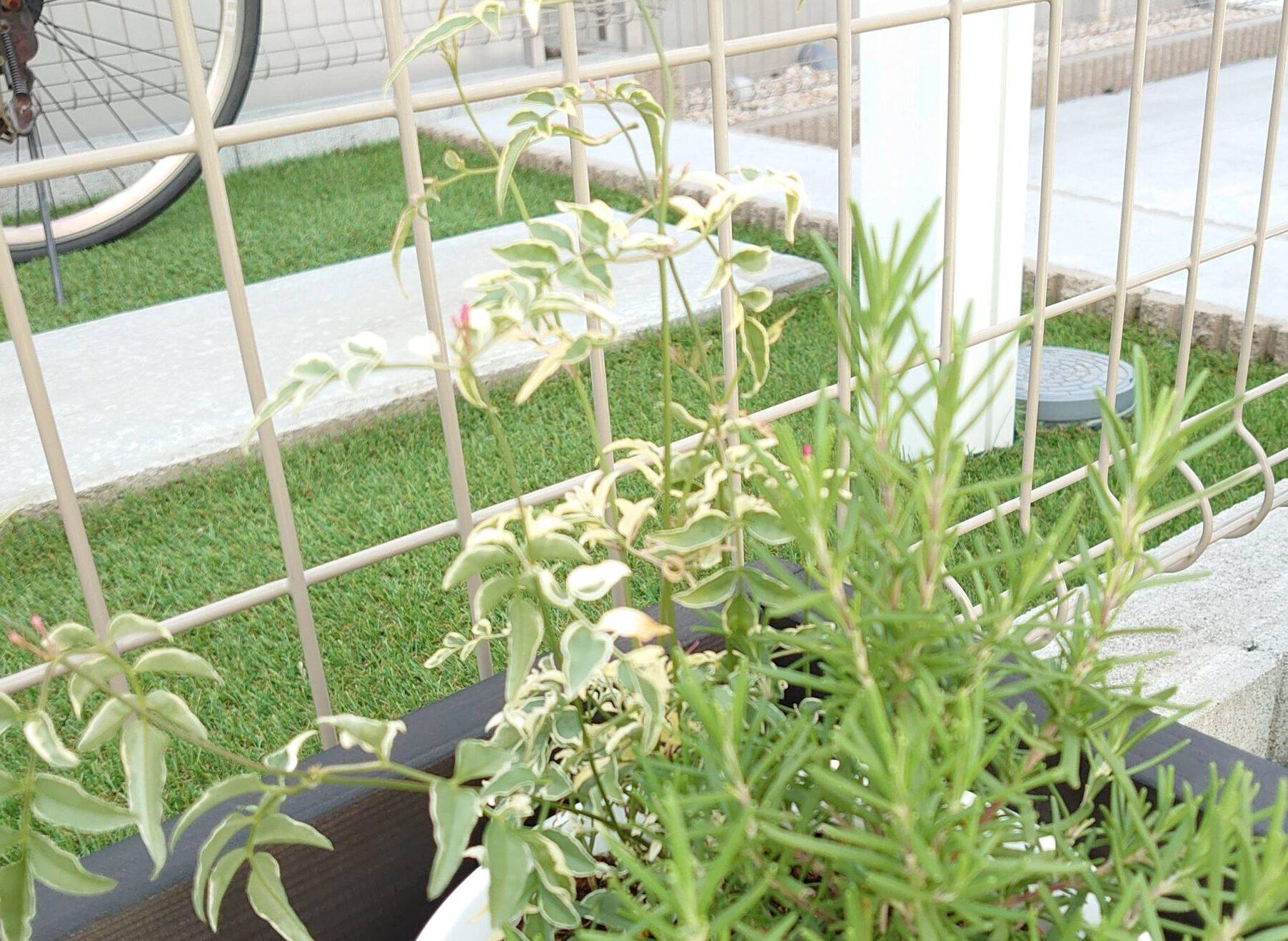 ハゴロモジャスミン 成長記録<花屋さんで購入した植物>