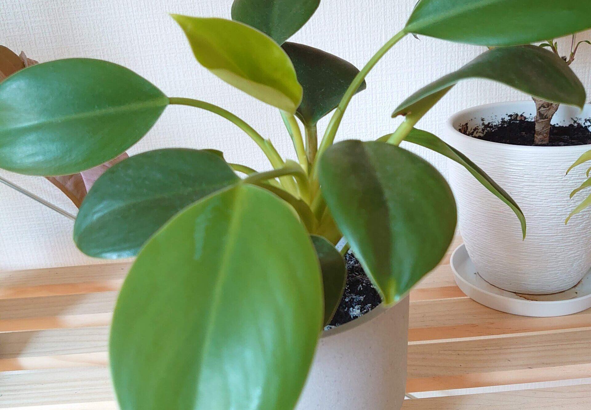フィロデンドロン ルゴサム 成長記録<100均観葉植物>