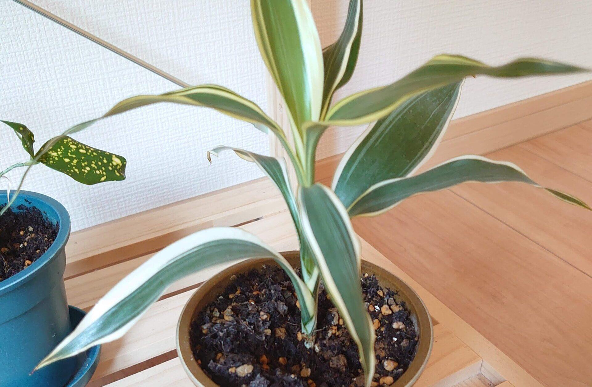 ドラセナ サングリアーナ 成長記録<100均観葉植物>