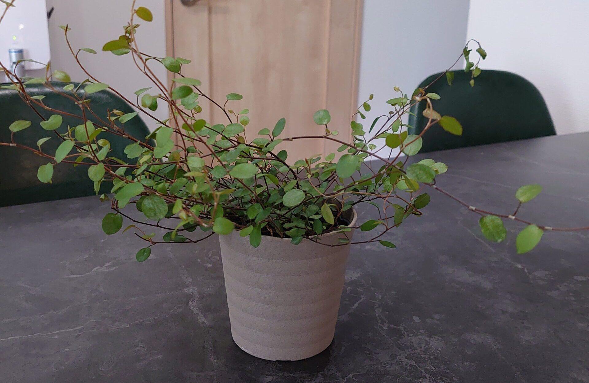 ワイヤープランツ 成長記録<近所のスーパーで購入の植物>