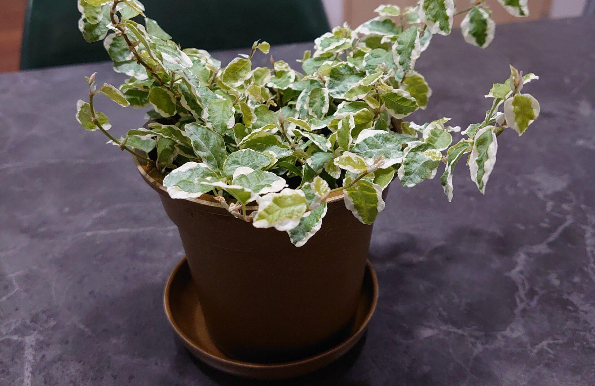 フィカスプミラ 成長記録<近所のスーパーで購入の植物>
