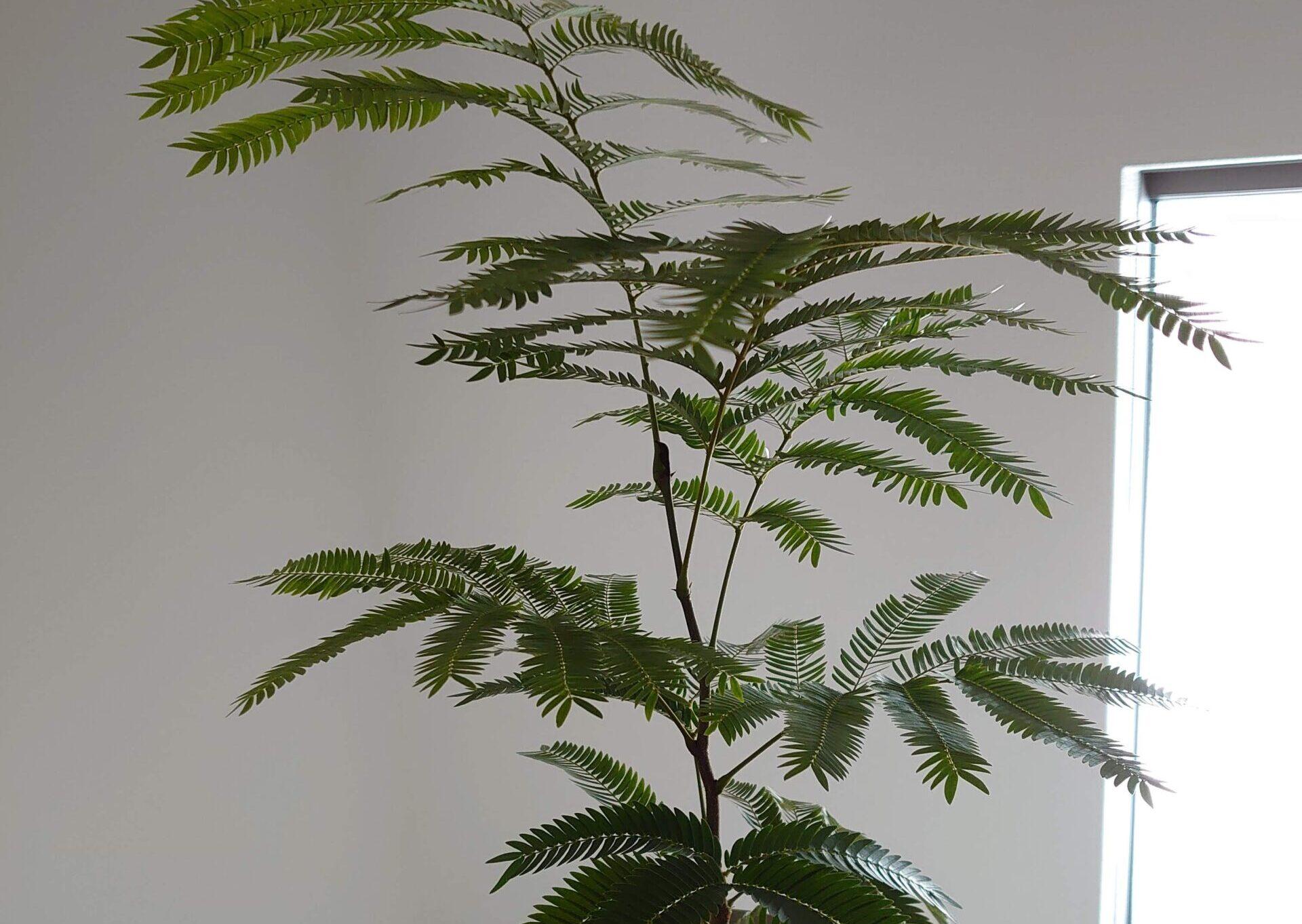 エバーフレッシュ 成長記録<ホームセンターで購入した植物>