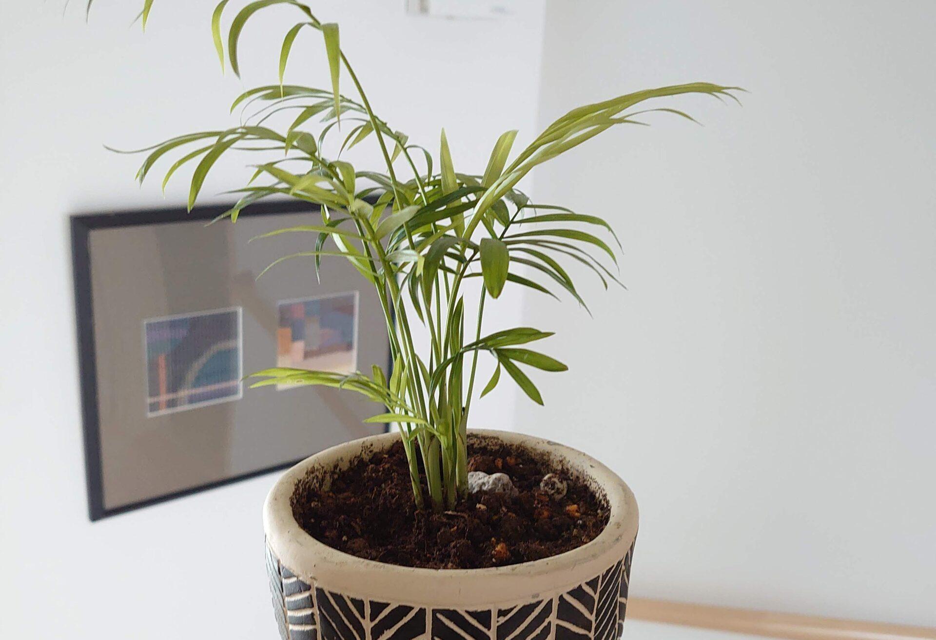 テーブルヤシ 成長記録<100均観葉植物>