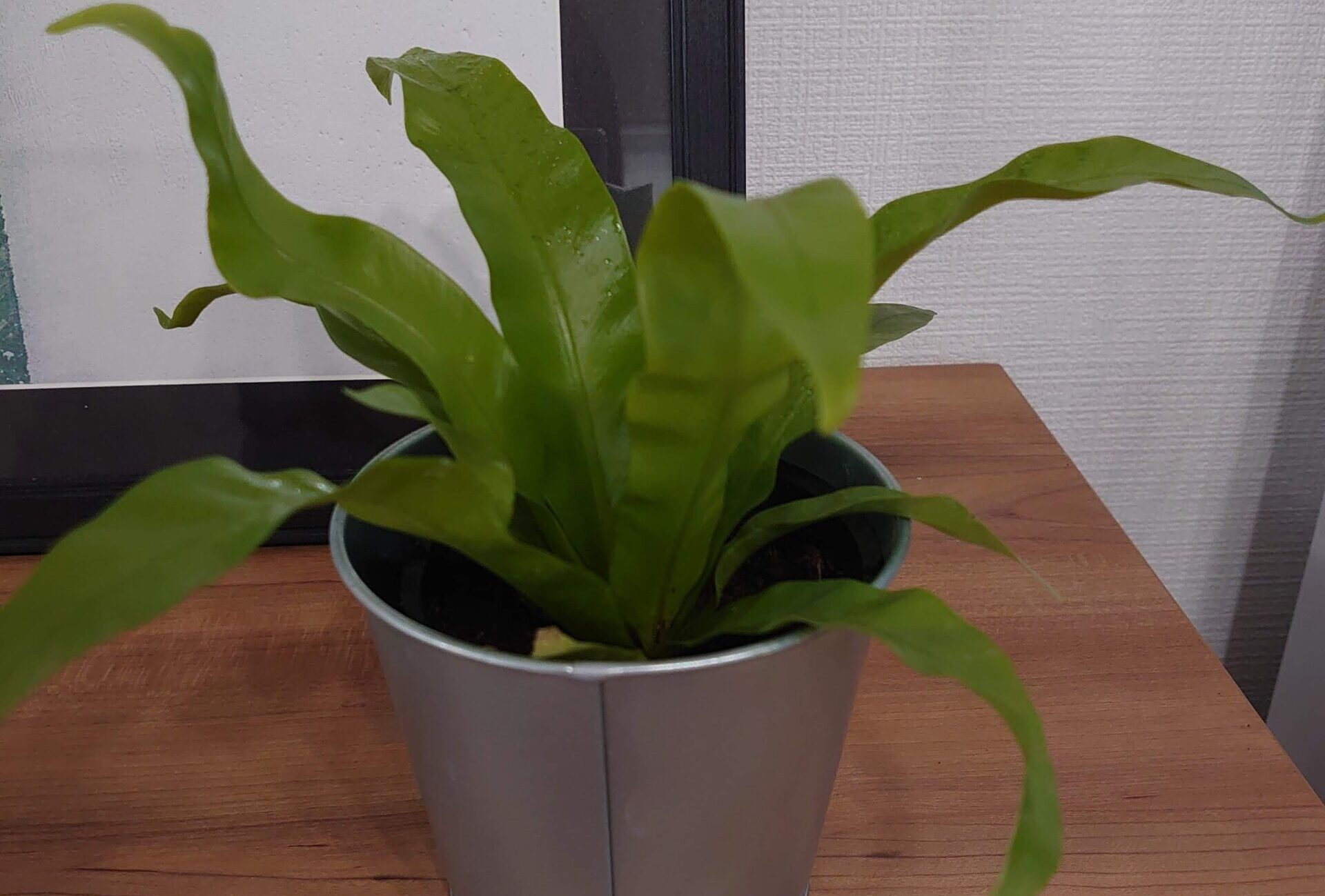 アスプレニウム アビス 成長記録<100均観葉植物>