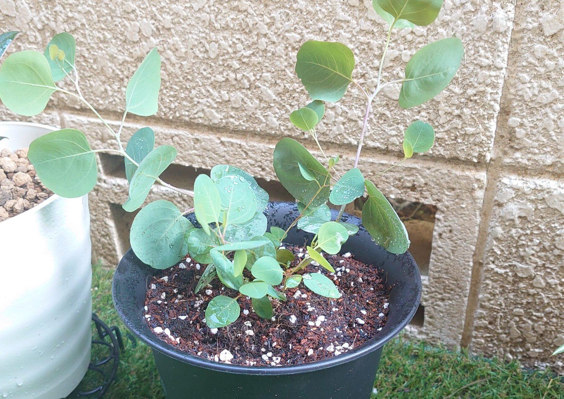 ユーカリ ポポラス(鉢植え)成長記録<ネット購入の植物>
