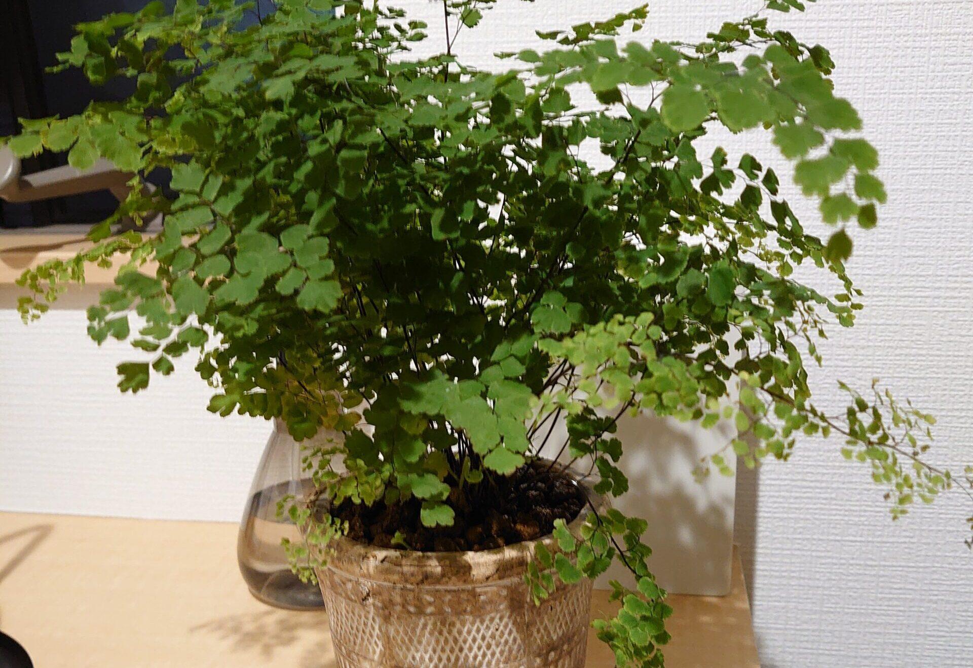 アジアンタム 成長記録<近所のスーパーで購入の植物>
