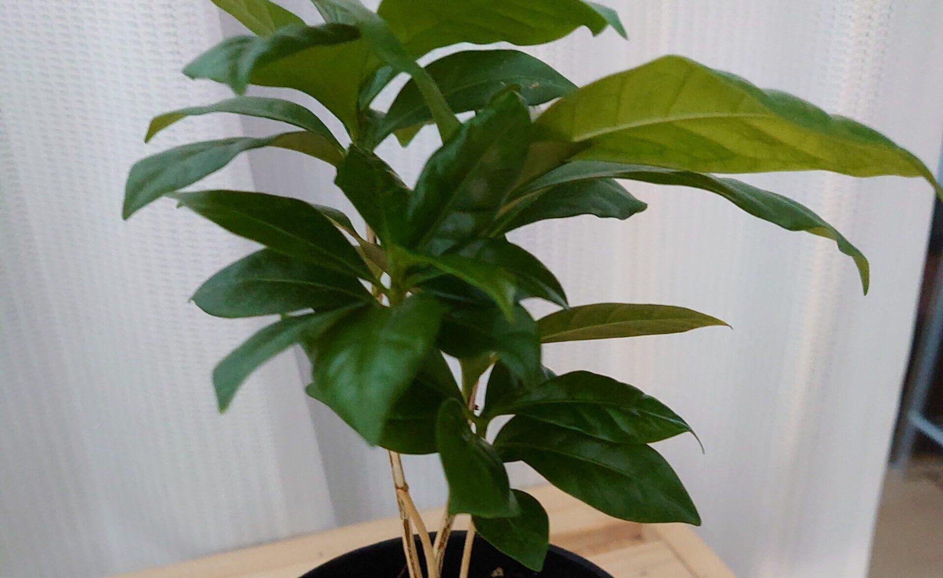 コーヒーの木 成長記録<100均観葉植物>