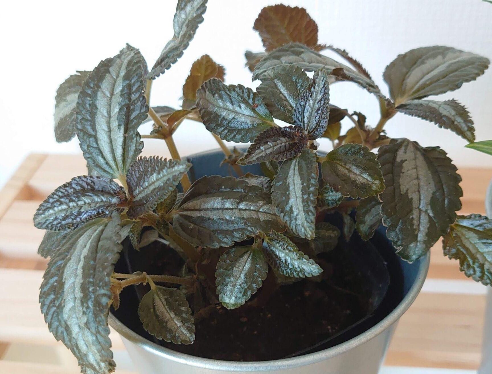 ピレア インボルクラタ 成長記録<園芸店で購入した植物>